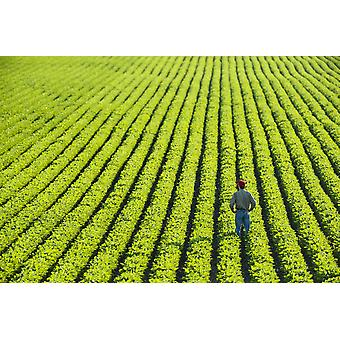 Portrait of a farmer walking through a large green soybean field in central Iowa in summer Iowa United States of America PosterPrint