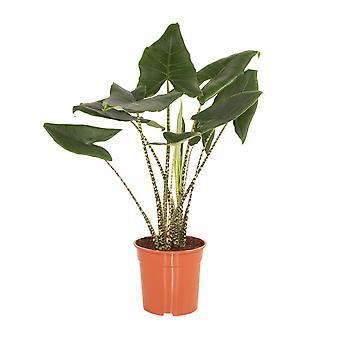 Pianta d'appartamento da Botanicly – Orecchie di Elefante – Altezza: 90 cm – Alocasia Zebrina