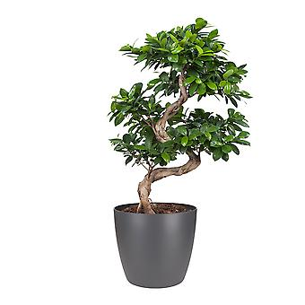 Chinese vijg ↕ 29 tot 60 cm verkrijgbaar met bloempot | Ficus Gin Seng
