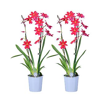 MoreLIPS® - Orchid- 2X Cambria 'Nelly Isler' - 2 haaraa - kasvavassa potissa - korkeus 50-60 cm