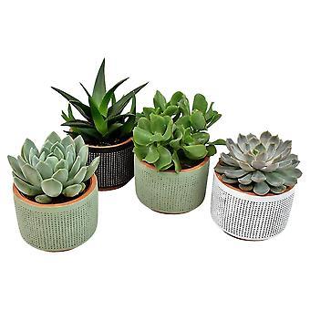 Kamerplanten van Botanicly – 4 × Vetplanten mix – Hoogte: 12 cm – Succulentus