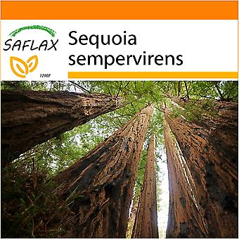 Saflax - Garden in the Bag - 50 seeds - Coastal Redwood - Séquoia sempervirens - Sequoia sempreverde - Secuoya roja - Küsten - Mammutbaum