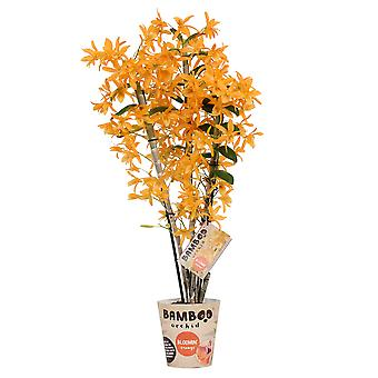 Orchidée – Bambou Orchidée – Hauteur: 50 cm, 3 pousses, fleurs d'oranger