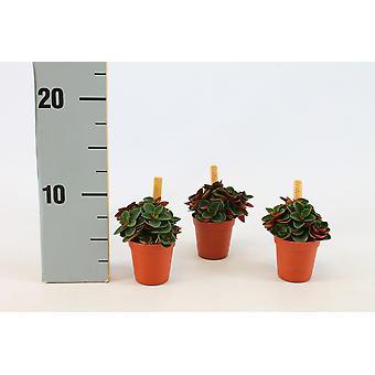 Zimmerpflanze von Botanicly – Zwergpfeffer – Höhe: 10 cm – Peperomia obtusifolia