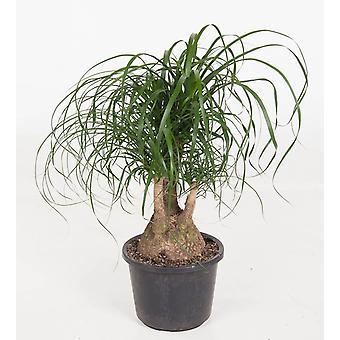 Zimmerpflanze von Botanicly – Elefantenfuß – Höhe: 90 cm – Beaucarnea recurvata