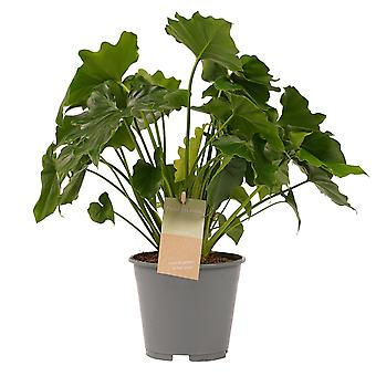 Klättring Philodendron ↕ 35 till 35 cm finns med planter | Philodendron Shangri La