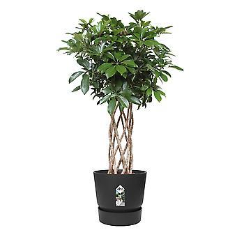 Schefflera arboricola Compacta Finger plant in Elho® Greenville pot black - Height 100 cm - Diameter pot 30 cm