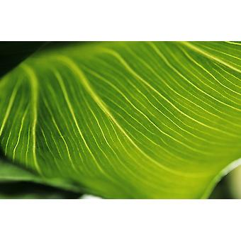 Extreme Close-Up Of Calla Lily Leaf PosterPrint