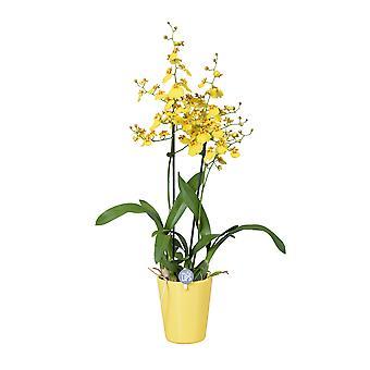 MoreLIPS® - Orkidea - Oncidium - 2 oksaa keltaisella keramiikalla - korkeus 45-55 cm - potin halkaisija: 14 cm