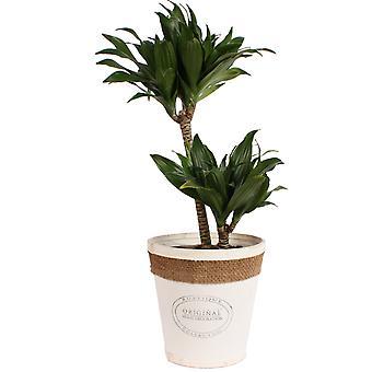 Dracaena fragrans compacta in witte chipwood pot