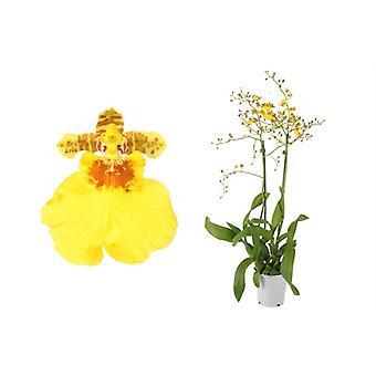 Orquídea de Botânica – Orquídea – Altura: 50 cm, 2 hastes – Oncidium Münsterland Stern