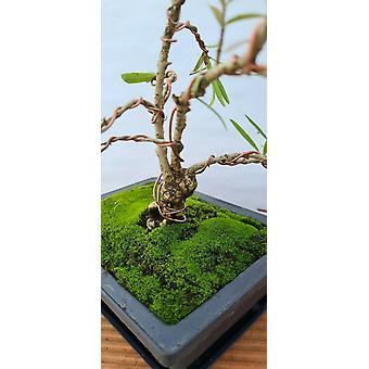 BONSAI - Phillyrea angustifolia (Narrow-leaved mock privet)