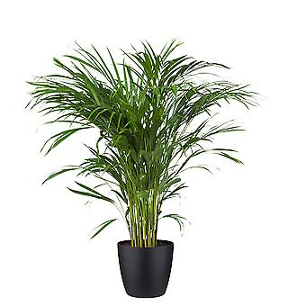 BOTANICLY Areca dypsis lutescens - Palma Areca