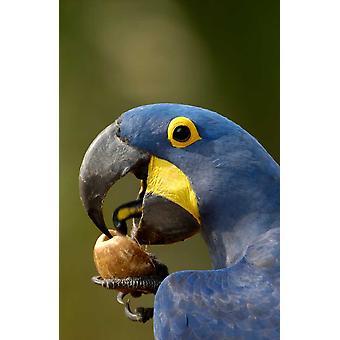 Hyasintti Macaw halkeilua avaa Piassava Palm pähkinä juoda maitoa Brasilia Juliste Tulosta Pete Oxford