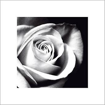White Rose Poster Print by Michael Banks (16 x 16)