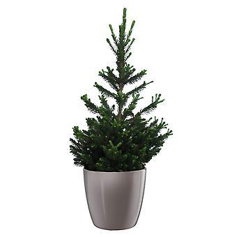 Picea abies Wills Zwerg ↕ 40 tot 50 cm verkrijgbaar met bloempot | Picea abies Wills Zwerg