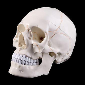 Menneskeskallemodell Anatomisk anatomisk medisinsk undervisningsskjelett i livsstørrelse