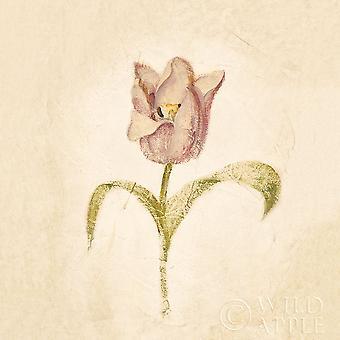 Blue Parrot Tulpe auf weißen Ernte Poster Print von Cheri Blum