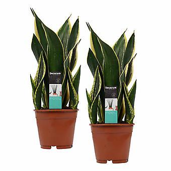 Plantes d'intérieur de Botanicly – 2 × Langue de belle-mère – Hauteur: 55 cm – Sansevieria Fire