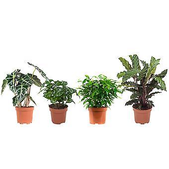 BOTANICLY FicusGreen Kinky, Coffee plant, Elefant ear, Calathea
