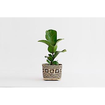 "4"" Mini Fig Plant +  Penan Basket"