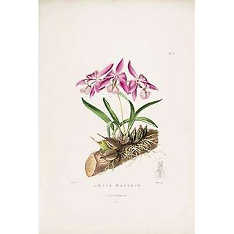 Orchid Laelia Majalis Poster Print by  Augusta Withers