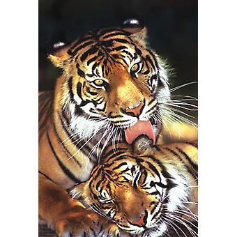 Tigers - Mothers Love Poster Poster Print