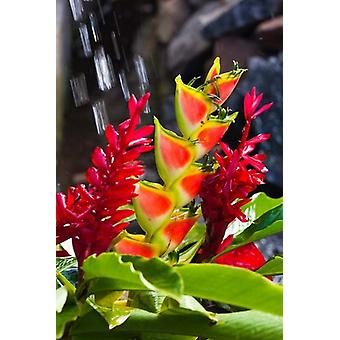 Dominica Roseau heliconia red ginger flowers Poster Print by Walter Bibikow