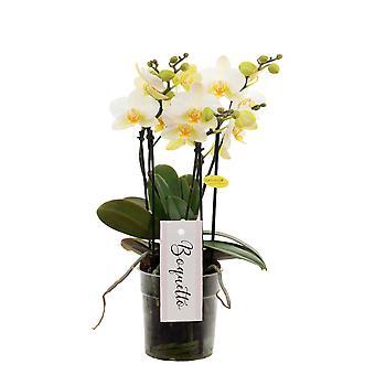 Orchidée – Orchidée papillon – Hauteur: 40 cm, 3 pousses