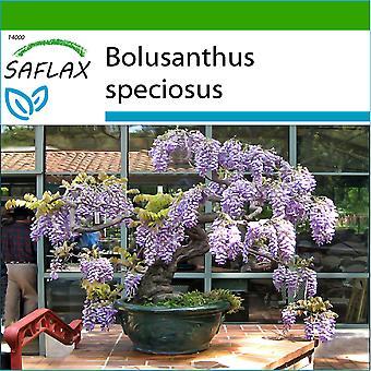 Saflax - 15 semi - con terreno - Bonsai - africano albero di glicine - glicina arbre - Glicine africano - Glicinia africana - B - Afrikanischer Blauregen