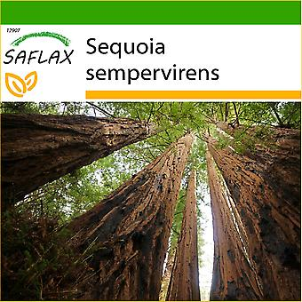 Saflax - 50 graines - avec de la terre - Coastal Redwood - Séquoia sempervirens - Sequoia sempreverde - Secuoya roja - Küsten - Mammutbaum