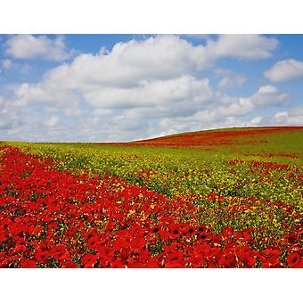An Abundance Of Red Poppies In A Field Corbridge Northumberland England PosterPrint