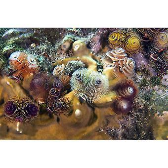 Kleurrijke kerstboom wormen bloot hun kieuwen filteren van het water stroomt door in de Atlantische Oceaan uit de kust van Key Largo Florida Poster Print