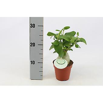 Zimmerpflanze von Botanicly – Ameisenpflanze – Höhe: 30 cm – Hydnophytum Papuanum
