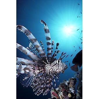 Fiji Volitan Lionfish Close-Up Side Se Sunburst A82F PosterPrint