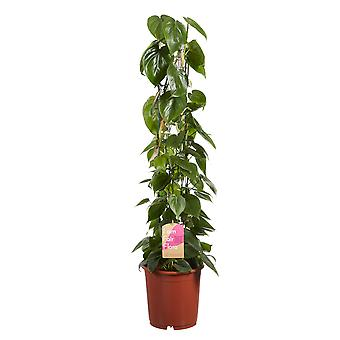 Kamerplant van Botanicly – Philodendron scandens – Hoogte: 100 cm