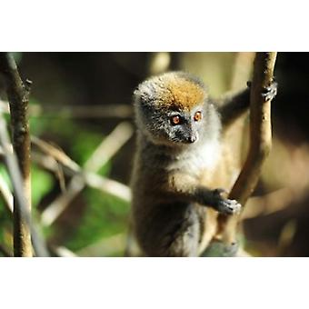Madagascar Andasibe Ile Aux Lemuriens baby Golden Bamboo Lemur Poster Print by Anthony Asael