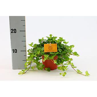 Zimmerpflanze von Botanicly – Zwergpfeffer – Höhe: 20 cm – Peperomia obtusifolia