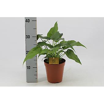 Zimmerpflanze von Botanicly – Elefantenohr – Höhe: 40 cm – Alocasia Cucullata