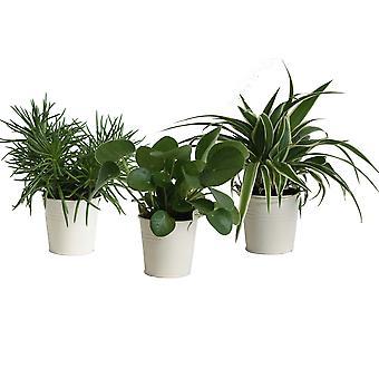 Zimmerpflanzen von Botanicly – 3 × Amazone Mix – Höhe: 15 cm