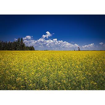 Campo di colza in fiore con un pumpjack in lontananza Devon Alberta Canada Poster stampa di Rocco Macri Design Pics