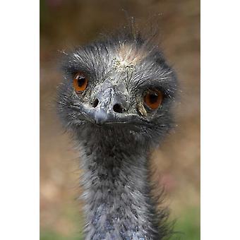 Emu portrait native to Australia Poster Print by San Diego Zoo