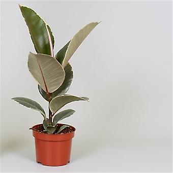 Plantes d'intérieur de Botanicly – 2 × Hévéa – Hauteur: 30 cm – Ficus Elastica Tineke