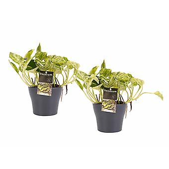 Plantas de interior – 2 × Poto en maceta gris como un conjunto – Altura: 15 cm