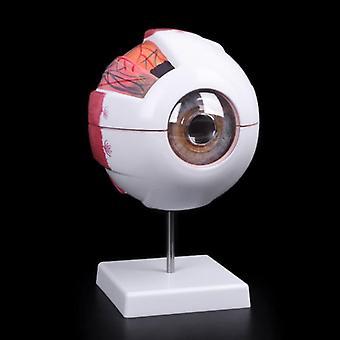 Eyeball Model Anatomical Eyeball Model Medical Learning Aid Teaching Instrument