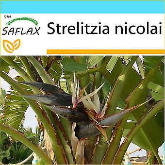 Saflax - regalo Set - 5 semi - White Bird of Paradise - Oiseau de paradis (nicolai) - Uccello del paradiso - Ave del Paraíso gigante - Paradiesvogelblume (nicolai)
