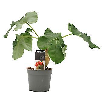 Plante d'intérieur de Botanicly – Jatropha podagrica – Hauteur: 30 cm