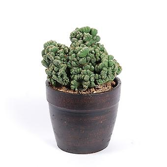 Cactus & Succulent plant from Botanicly – Cereus Peruvianus Grizzly – Height: 28 cm
