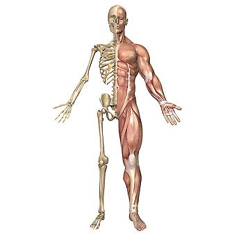 Medical illustration of the human skeleton and muscular system front view Poster Print