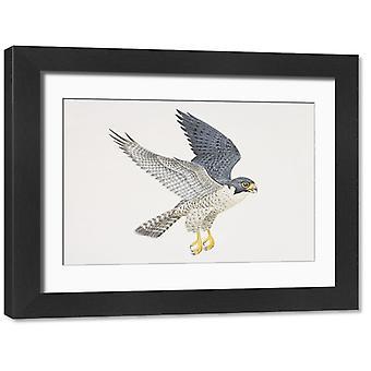 Falco peregrinus, Peregrine Falcon i flygning, sidovy. Stort inramat foto. Falco peregrinus,.